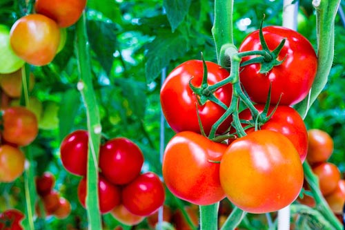 tomaty_4